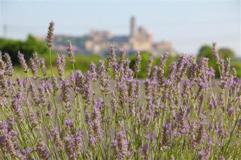 Cultivo de lavanda ecológica en l'Horta de Lleida